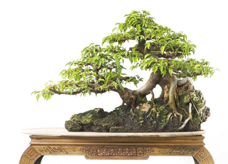 more bougainvillea bonsai but more elegant less showy. Black Bedroom Furniture Sets. Home Design Ideas