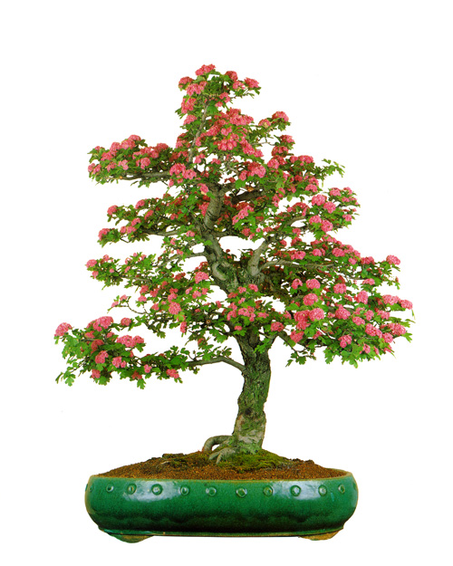 English hawthorn bonsai
