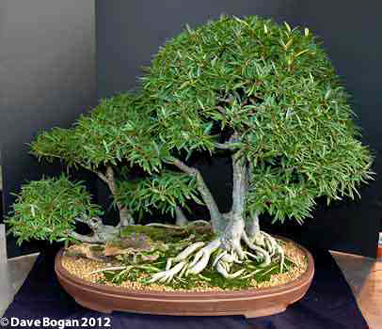 an amazing little tree with six names bonsai bark. Black Bedroom Furniture Sets. Home Design Ideas