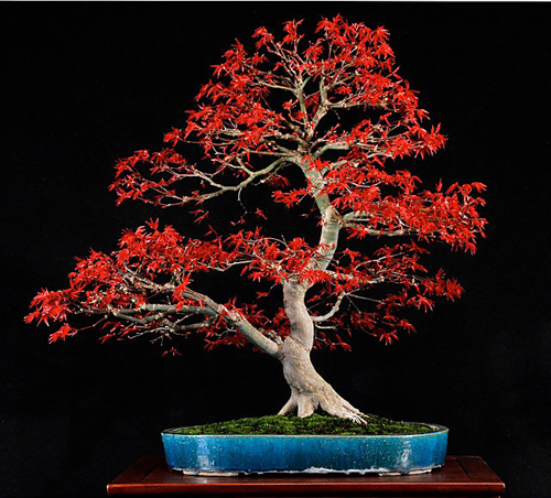 japanese maple bonsai tree. Deshojo Japanese maple by Bill