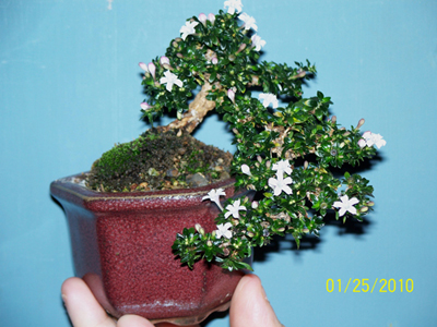 I flowering-serissa-for-contest-at-stone-lantern-0102