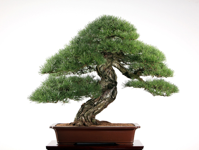 Liang Black Pine small