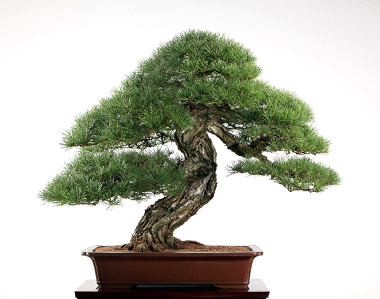 Liang-Black-Pine-small