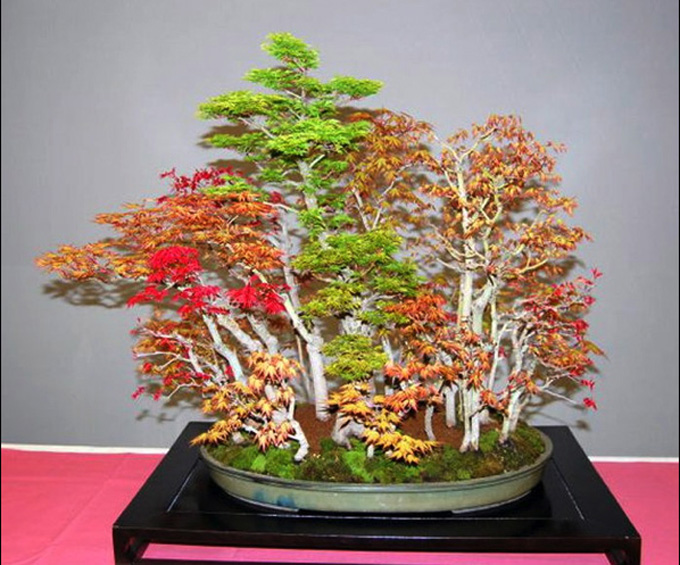 Maples - Bonsai forest - Philippine Photo Gallery