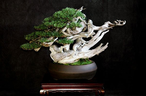 Mugo Bonsai Creativo School