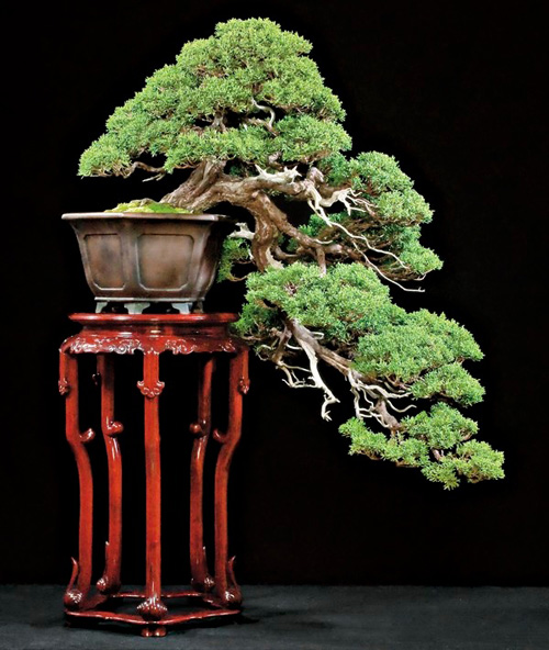 SARGENTS JUNIPER Bonsai