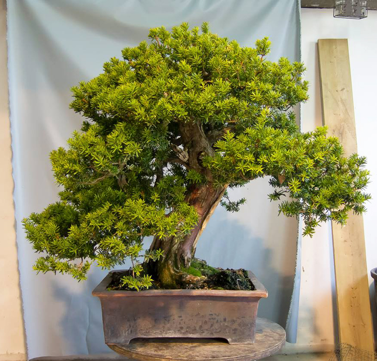An already mature well-established bonsai. A simple task to shape it up,  right? Well, simple maybe for a skilled bonsai artist, but not for just  anyone.
