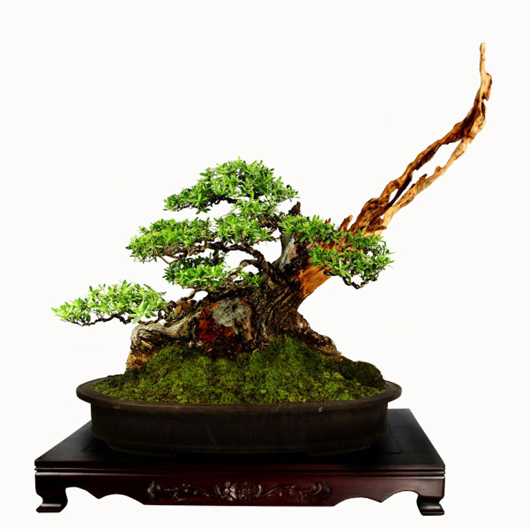 bonsai show HD (6)