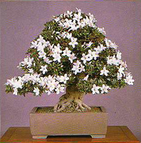 Bonsai tree more flowering bonsai this flowering azalea would stand as an excellent bonsai even without its flowers with it showy display of white blossoms it becomes and even more mightylinksfo