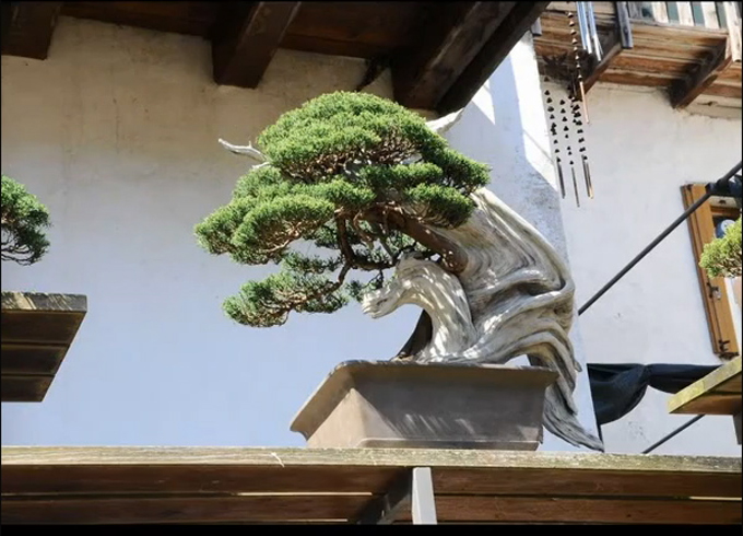 Backyard Bonsai Trees : Bonsai tree Backyard Bonsai Dream