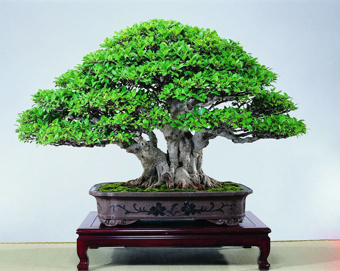 silk carving some of the best bonsai in the world