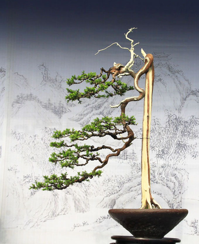 blue-atlas-cedar-bonsai
