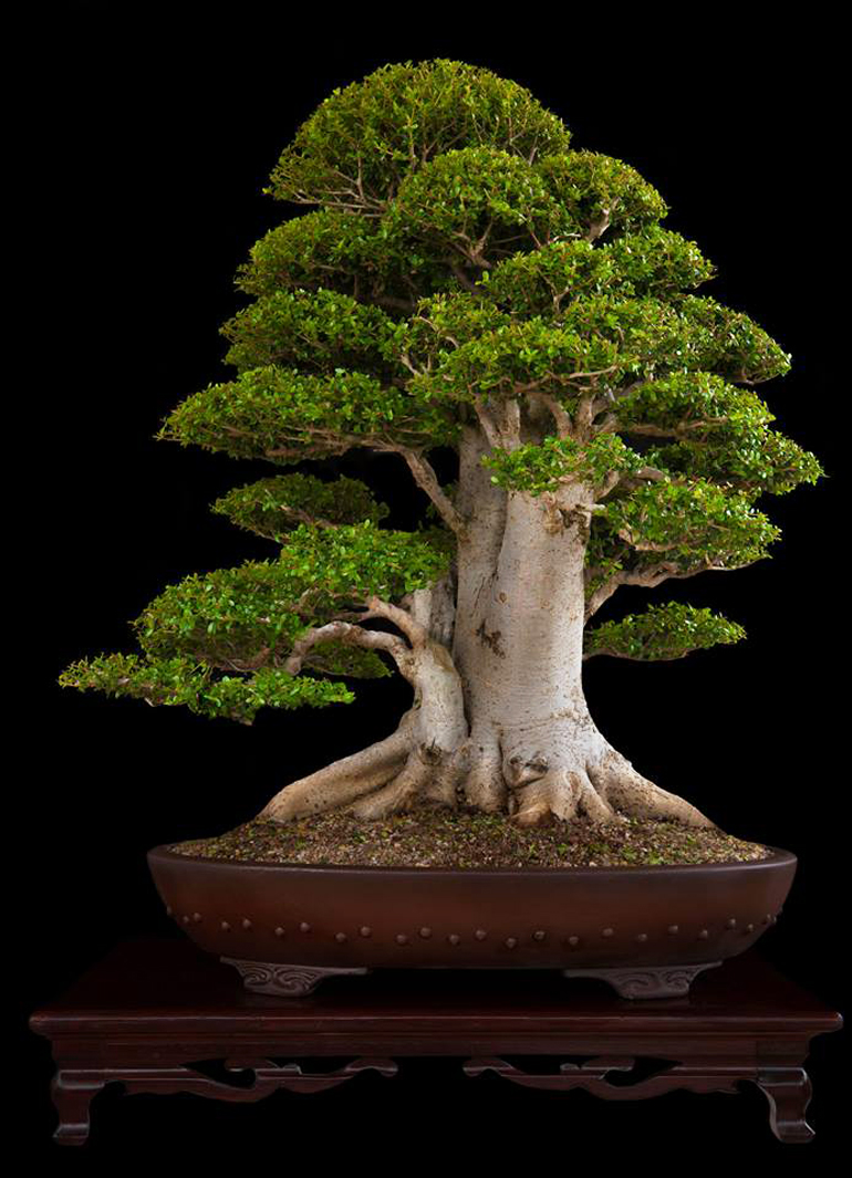 Beasts of the southern wild bonsai bark for Famous bonsai trees
