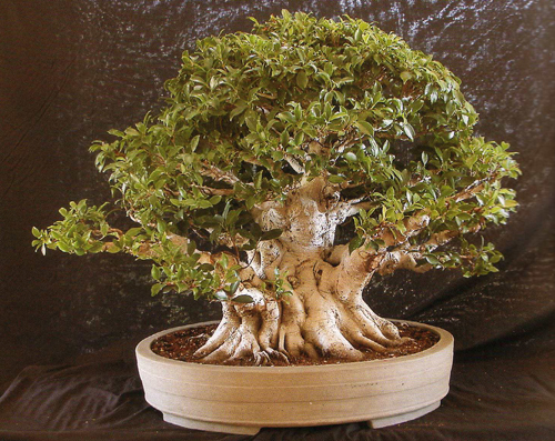 How to Repot a Ficus Tree How to Repot a Ficus Tree new pics