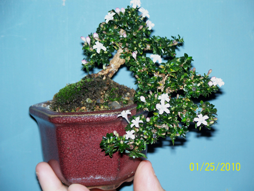 flowering serissa for contest at stone lantern 010
