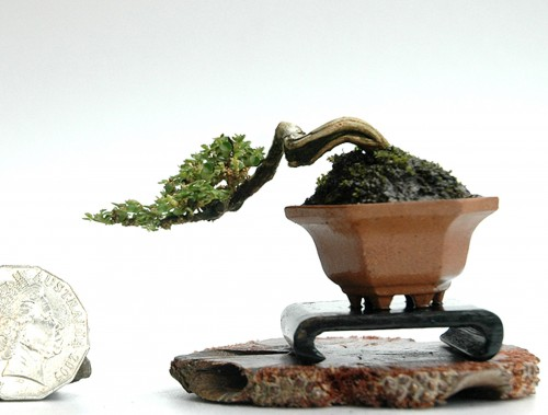 robert steven s super mini bonsai bonsai bark. Black Bedroom Furniture Sets. Home Design Ideas