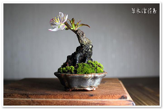 tiny bonsai bonsai bark. Black Bedroom Furniture Sets. Home Design Ideas