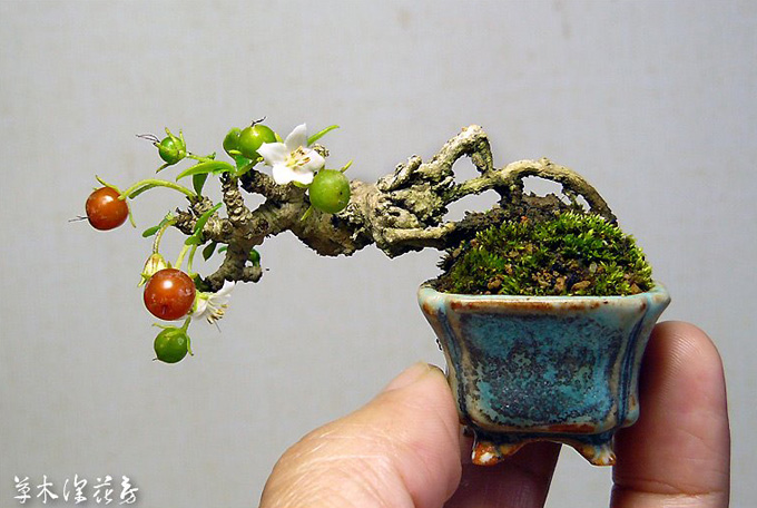 tiny bonsai picture to pin on pinterest pinsdaddy. Black Bedroom Furniture Sets. Home Design Ideas