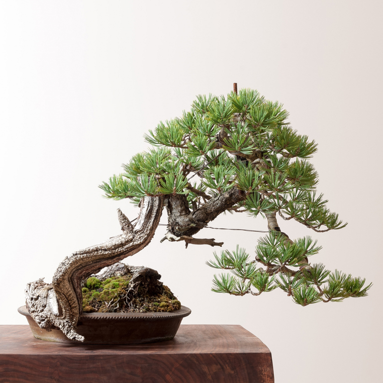 Bonsai mirai yamadori why you should visit portand this - Bonsai ficus perd ses feuilles ...
