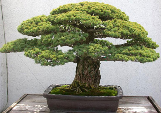 Revisiting a famous old pine bonsai bark for Famous bonsai trees