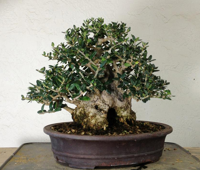 Beginners guide to buying a bonsai tree swindon for How to make an olive tree into a bonsai