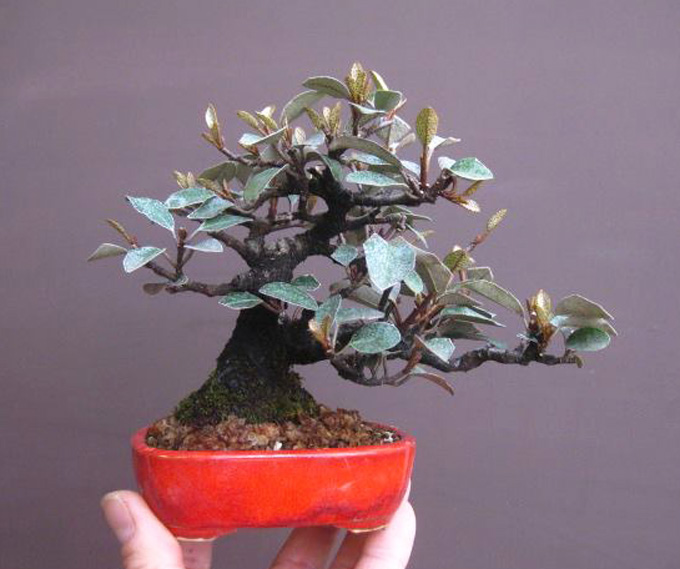 Very red and very rare bonsai bark for Most expensive bonsai tree ever