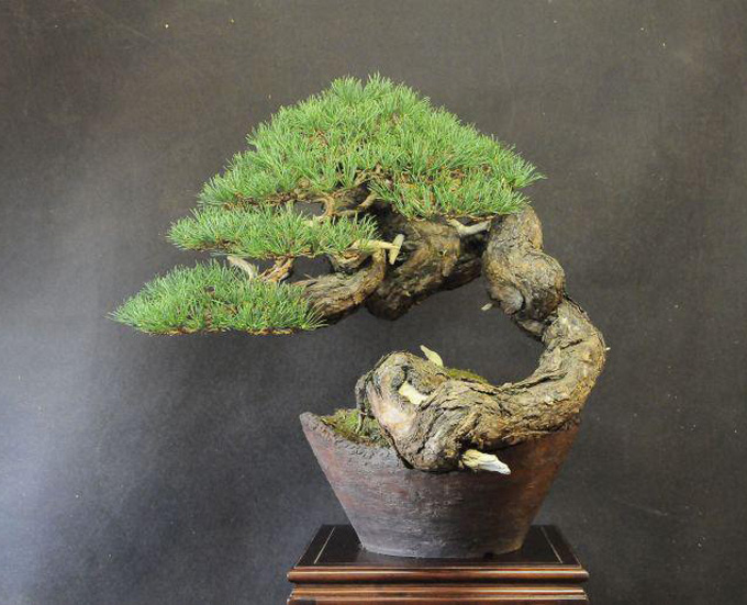 scots pine one artist four trees bonsai bark. Black Bedroom Furniture Sets. Home Design Ideas