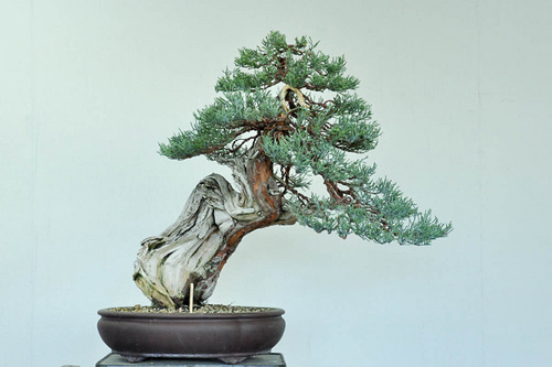Bonsai Tree Bonsai Tree Daisaku Nomoto Before After