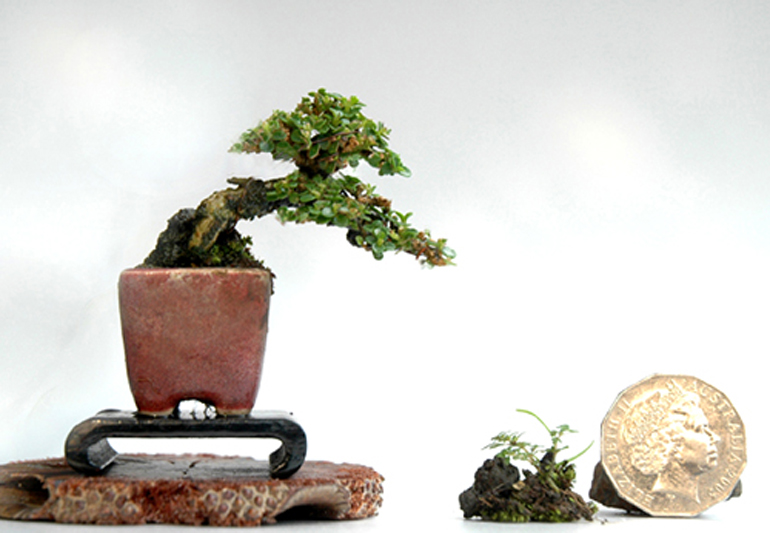 bonsai bark promoting and expanding the bonsai universe. Black Bedroom Furniture Sets. Home Design Ideas