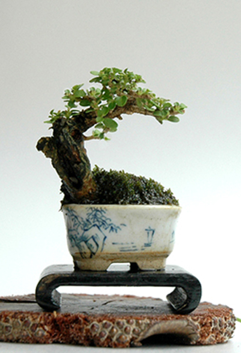 robert s super mini bonsai bonsai bark. Black Bedroom Furniture Sets. Home Design Ideas