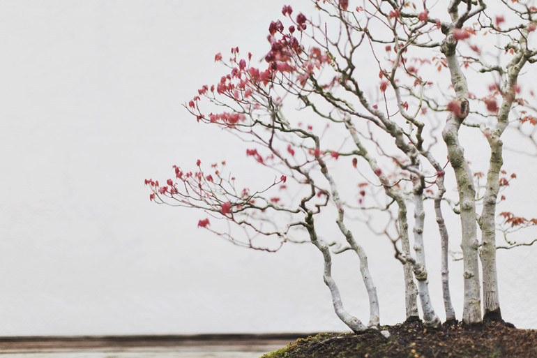 A Drummond Red Maple bonsai (in training since 1974) at the National Bonsai and Penjing Museum in Washington, DC.