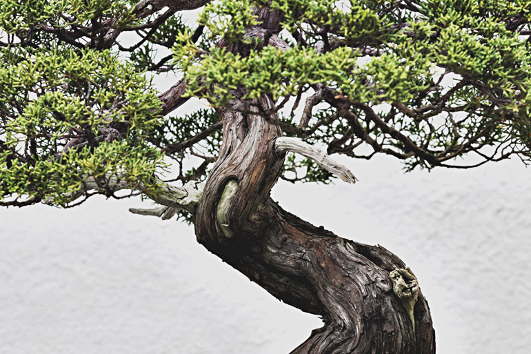 A Sargent Juniper bonsai (training date unknown) at the National Bonsai and Penjing Museum in Washington, DC.