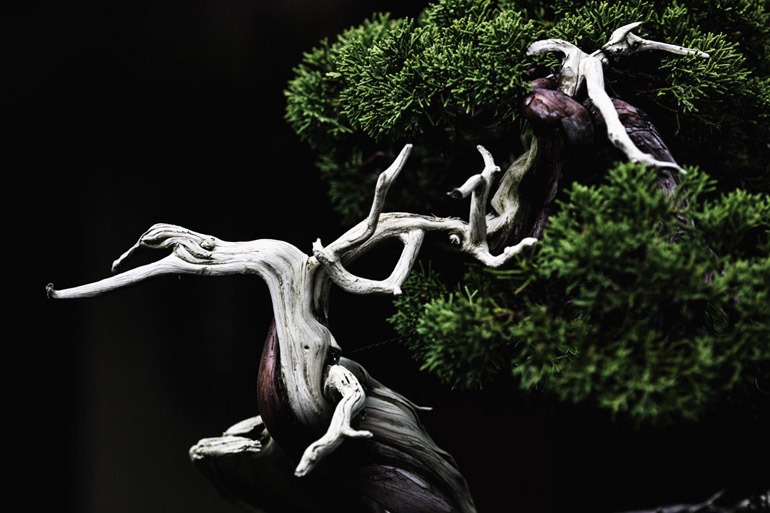 A Sargent Juniper bonsai (in training since 1905) at the National Bonsai and Penjing Museum in Washington, DC.