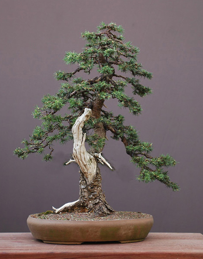 three rare wonderful yamadori bonsai bonsai bark