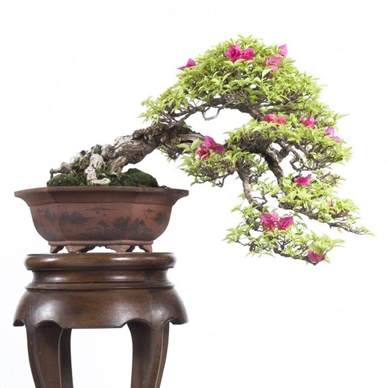 More bougainvillea bonsai but more elegant less showy for Bougainvillea bonsai prezzo