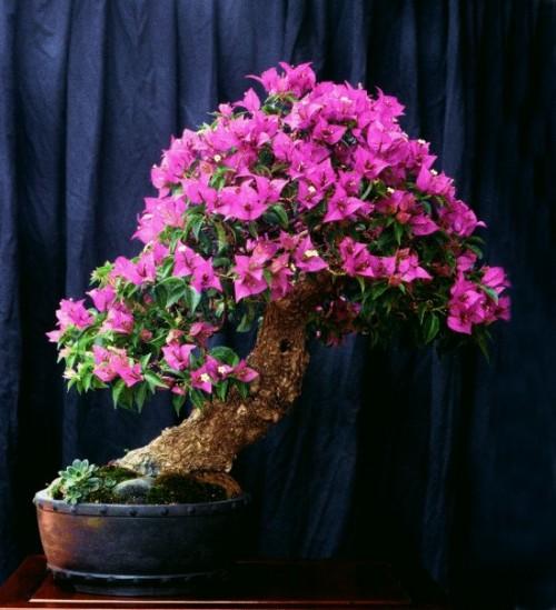 A borrowed bougainvillea bonsai bracts and all bonsai bark for Bougainvillea bonsai prezzo