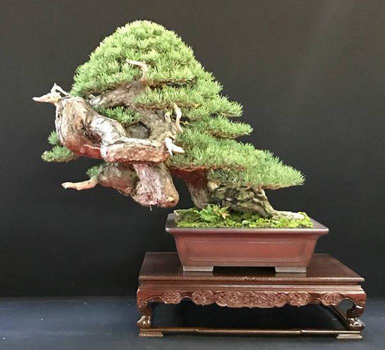 Best Conifer Best Artist Best In Show Bonsai Bark