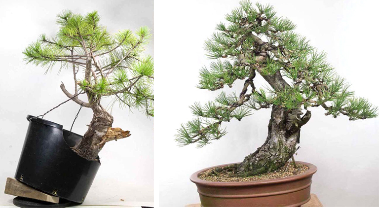 Sensational Before During After Seven Years Some Serious Wiring Bonsai Bark Wiring Digital Resources Jebrpcompassionincorg