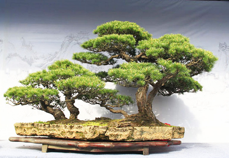 Powerful Pine Bonsai Books Wire Bonsai Bark