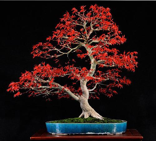 Bonsai Art Deshojo Japanese Maple Bonsai Bark