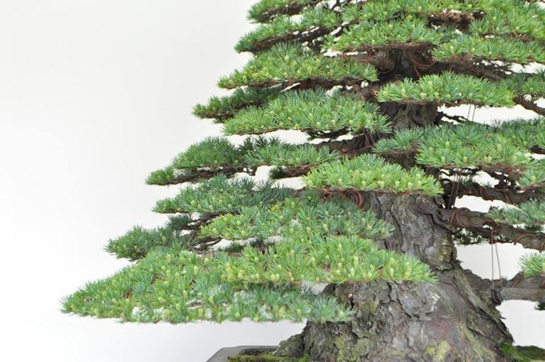 Terrific Refining A Masterpiece Japanese White Pine Bonsai Bark Wiring Cloud Pendufoxcilixyz