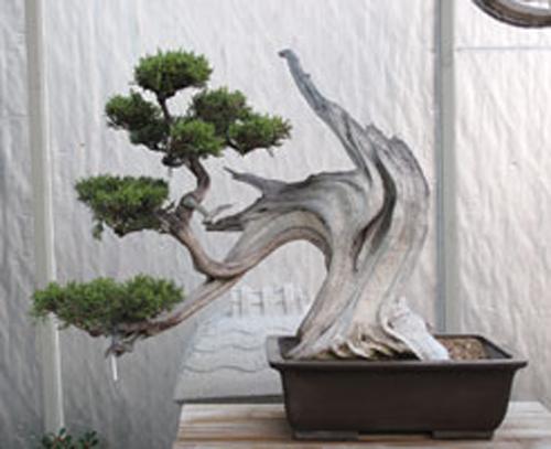 Stolen Bonsai Bonsai Bark