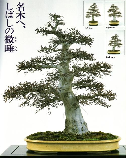 A Simple Air Layering Technique Part 3 Bonsai Bark