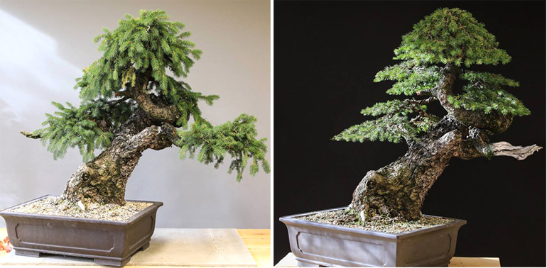 A Muscular Monster Before And After Bonsai Bark