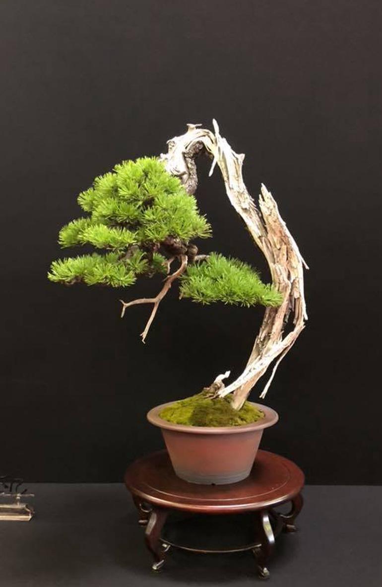 Pinus mugus. Nik Rozman