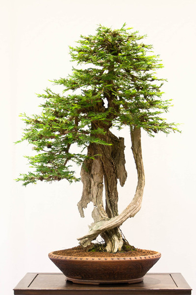 Redwood Bonsai At The Rebs Bonsai Bark