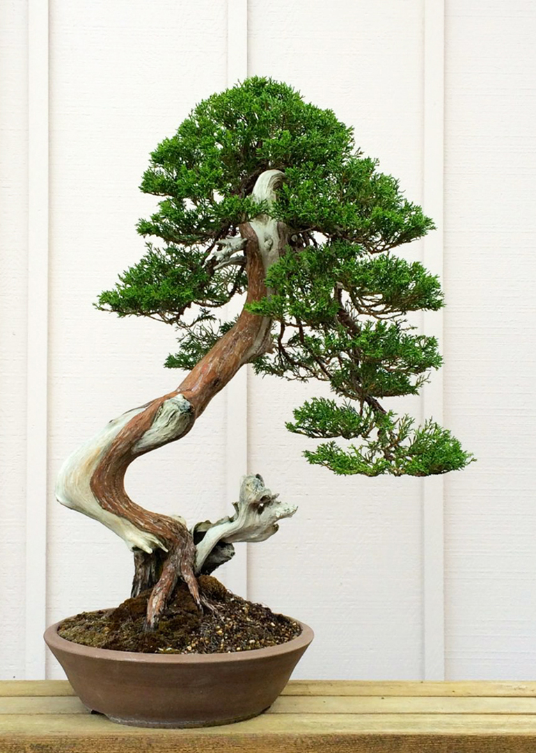 Bonsai Bark Promoting And Expanding The Universe Page 81 Wiring Yew Tamafter