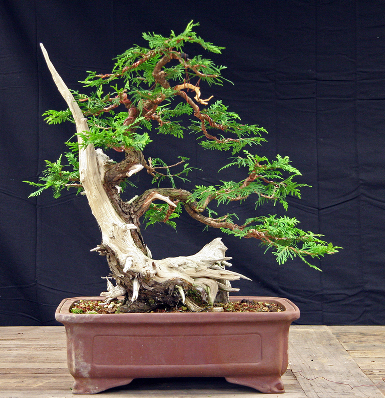 Wondrous Two Splendid Cedar Bonsai Bonsai Bark Wiring Digital Resources Funapmognl