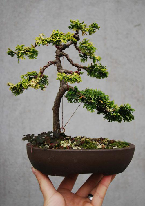 100 Unique Bonsai Contest Four More To Go Bonsai Bark