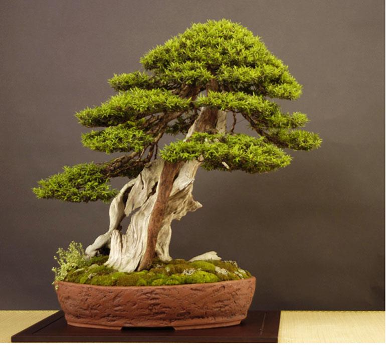 Astounding Its Taxus Time Bonsai Bark Wiring Digital Resources Antuskbiperorg